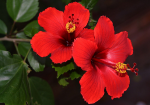 hibiscus-for-hair